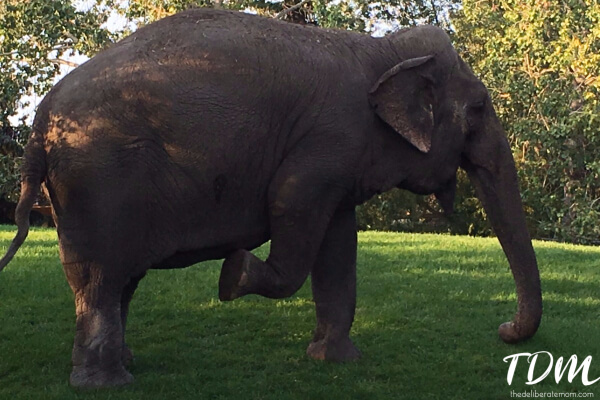 Lucy the elephant.
