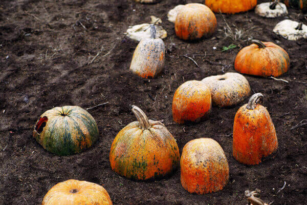 Decomposing pumpkins are fascinating to study!